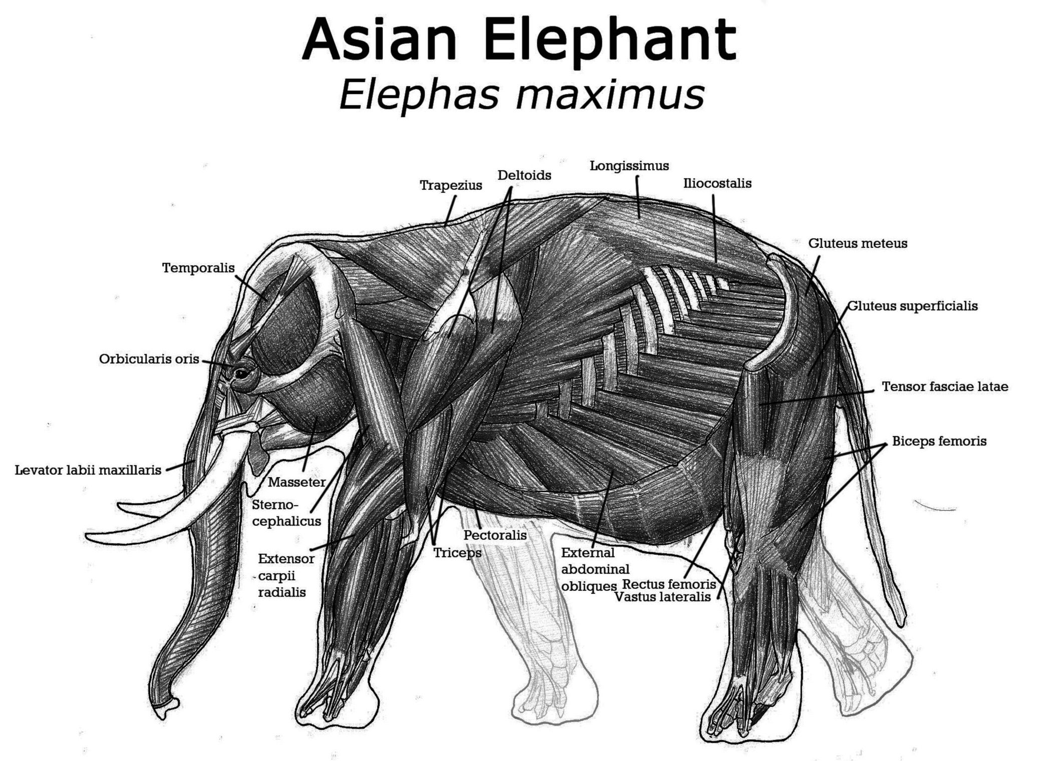 elephant shot placement images